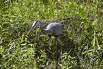 Great Blue Heron Standing in Vegetation