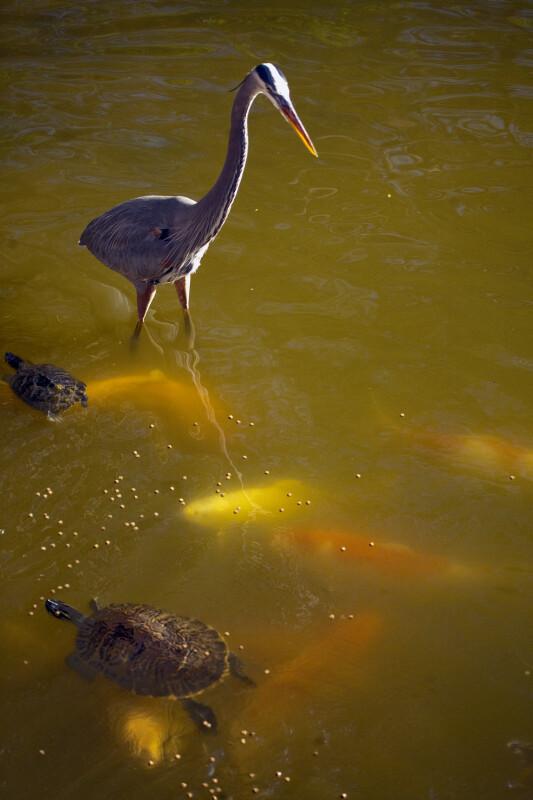 Great Blue Heron Walking Near Turtle