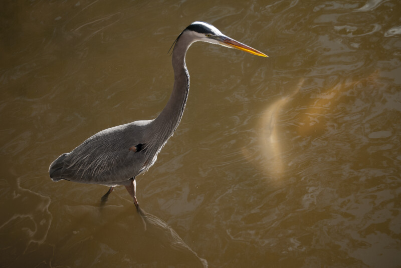 Great Blue Heron Walking Through Water near Fish