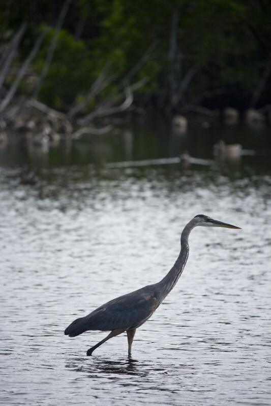 Great Blue Heron Walking Through Water