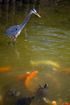 Great Blue Heron Watching Koi and Turtles