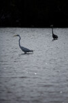 Great Egret and Blue Heron