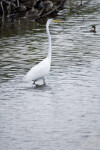 Great Egret and Ducks