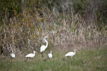Great Egret and Ibises