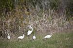 Great Egret and Ibises