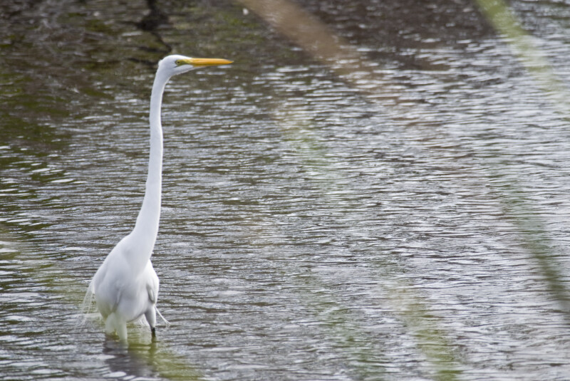 Great Egret at Mrazek Pond