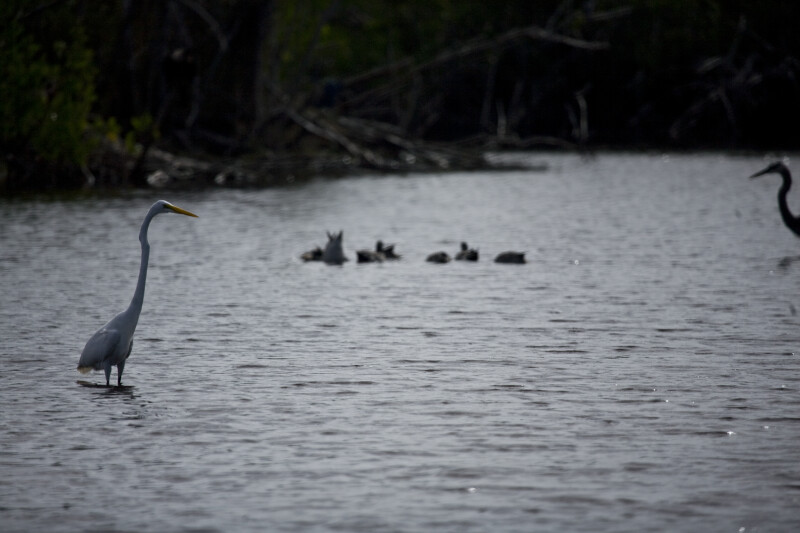 Great Egret, Ducks, and Great Blue Heron