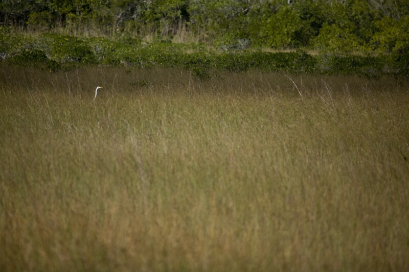 Great Egret in Sawgrass