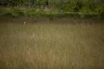 Great Egret in Sawgrass