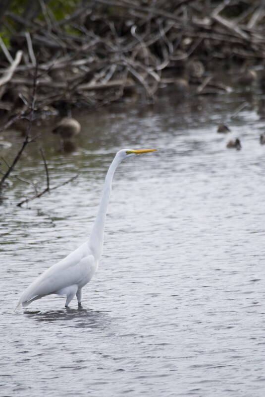 Great Egret in the Water