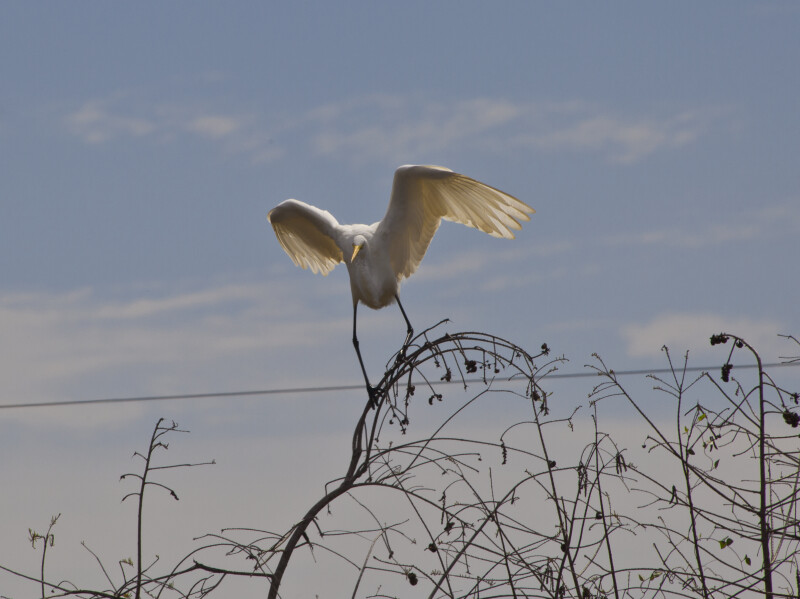 Great Egret Landing On Branch Clippix Etc Educational