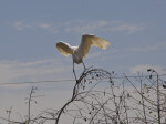 Great Egret Landing on Branch