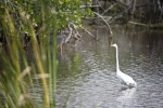 Great Egret Near the Shore