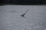 Great Egret Stalking Fish