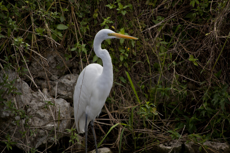 Great Egret Standing near Oasis Visitor Center at Big Cypress National Preserve
