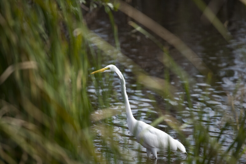 Great Egret Through Grass