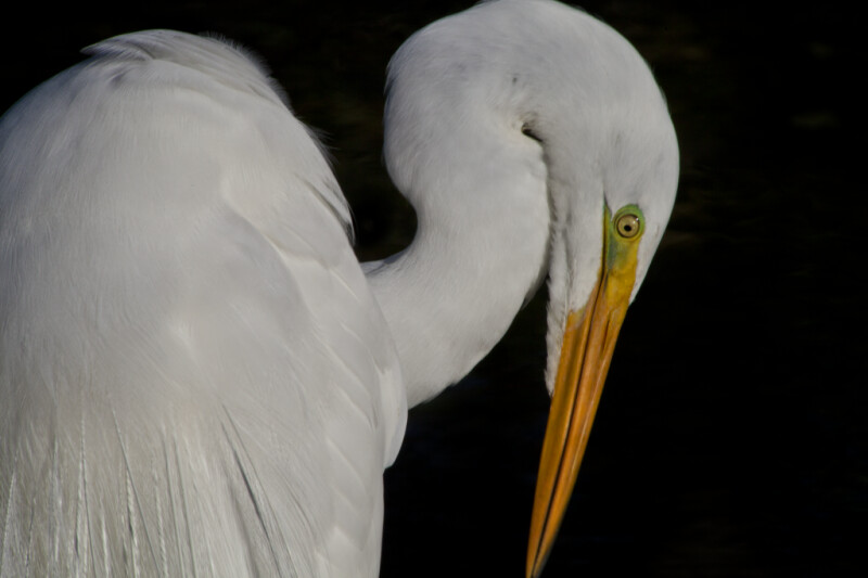 Great Egret with Head Tilted Downward