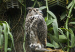Great Horned Owl Perched on Branch with Head Turned