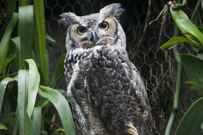 Great Horned Owl with Yellow and Black Eyes
