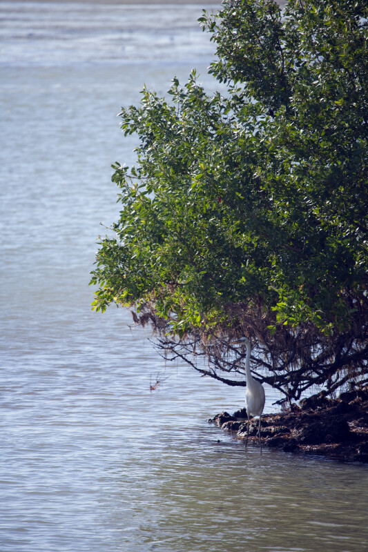 Great White Heron by Mangrove