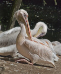 Great White Pelican Side View