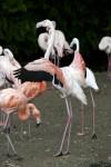 Greater Flamingo Landing