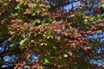 Green and Red Leaves on a Tree at Boyce Park