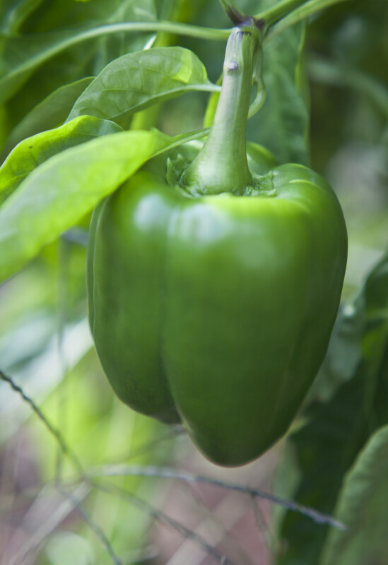 Green Bell Pepper Attached to Stem