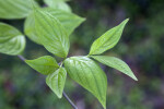 Green Dogwood Leaves