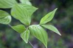 Green Dogwood Leaves