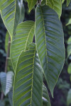 Green, Glossy, Pointed Custard Apple Leaves