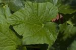 Green Gourd Leaf