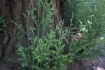 Green Herbaceous Plant Growing Alongside Tree