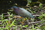 Green Heron Gripping Branches With its Claws