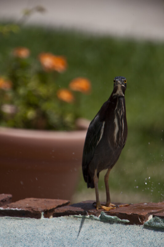 Green Heron on Brick