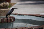 Green Heron on Fountain