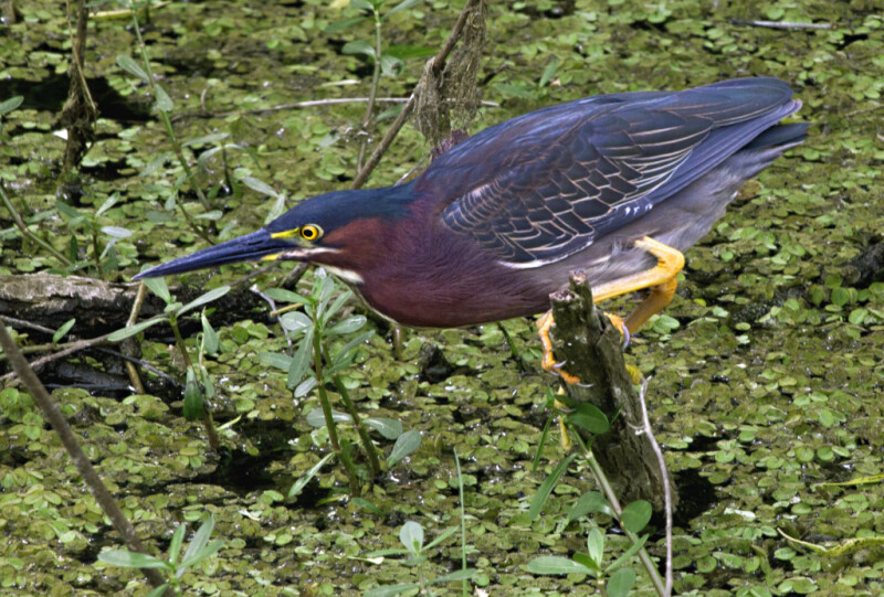 Green Heron Perched on a Branch