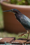 Green Heron Walking