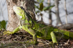 Green Iguana Looking Up