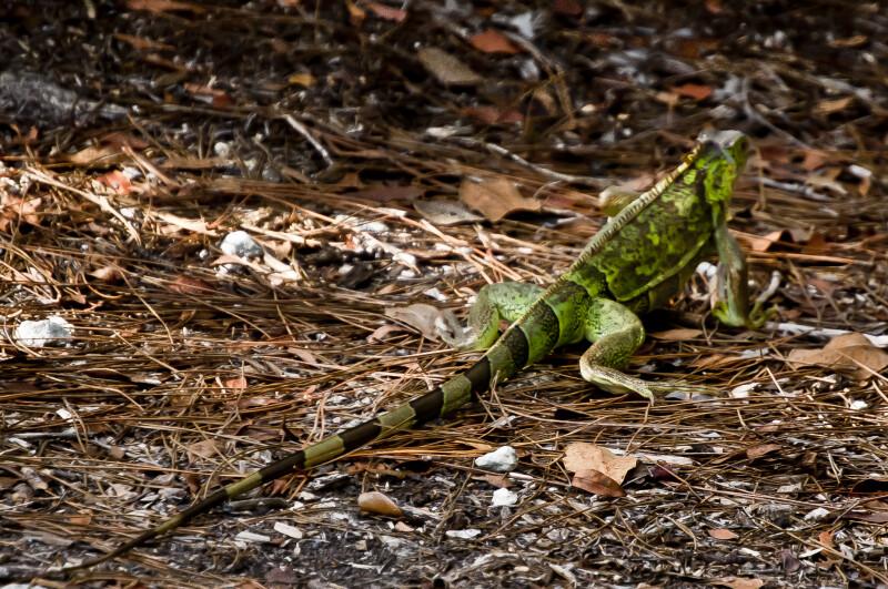 Green Iguana Rear View