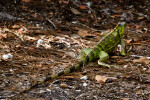 Green Iguana Rear View