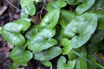 Green, Kidney Shaped Wild Ginger Leaves