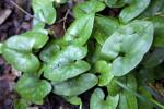 Green, Kidney Shaped Wild Ginger Leaves