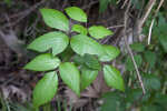 Green Leaves and Pink Stem