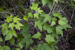 Green Leaves and Red Stems of Maple