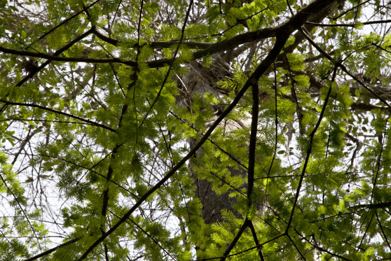 Green Leaves Extending from Branches of Bald Cypress