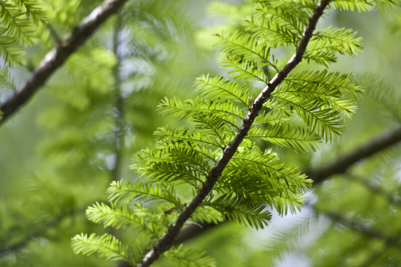 Green Leaves Growing from Either Side of Bald Cypress Tree Branch