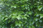 Green Leaves of a Japanese Orixa