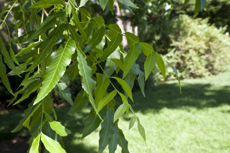 Green Leaves of a Pecan Tree