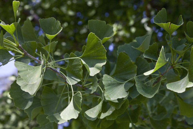 Green Leaves of an Autumn Gold Ginkgo Tree